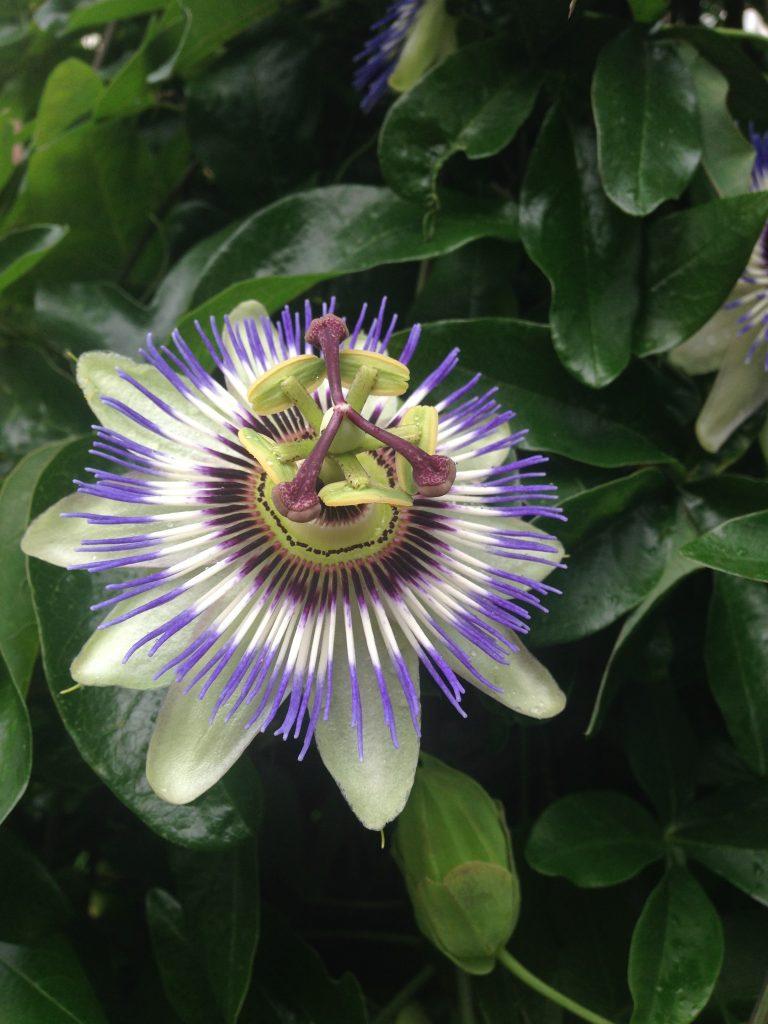 Passiflora caerulea eli kärsimyspassio. Kuva blogista: rakkaudestapassifloriin.blogspot.com, sieltä löytyy aiheesta runsaasti mielenkiintoista tietoa